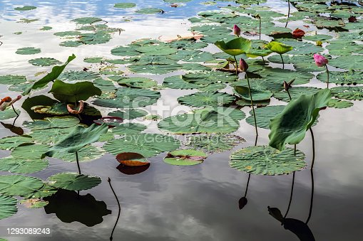 istock Water lily (nuphar lutea) on the Japanese pond. 1293089243