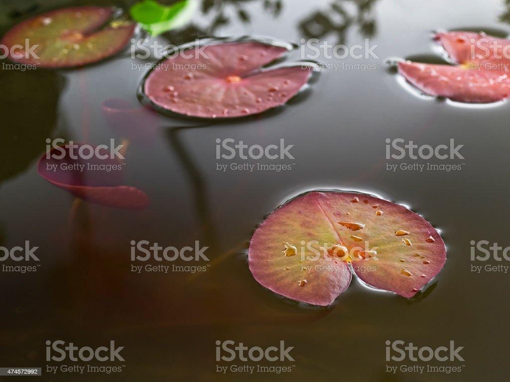 Water lily pads, Serrosenblätter stock photo