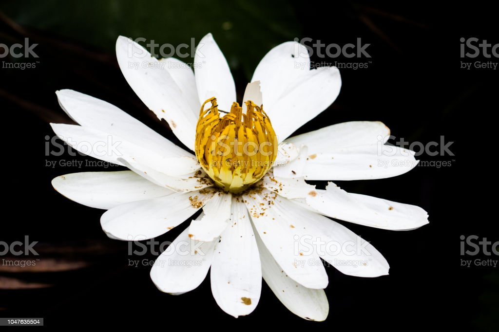 Water lily (Nymphaeaceae) stock photo