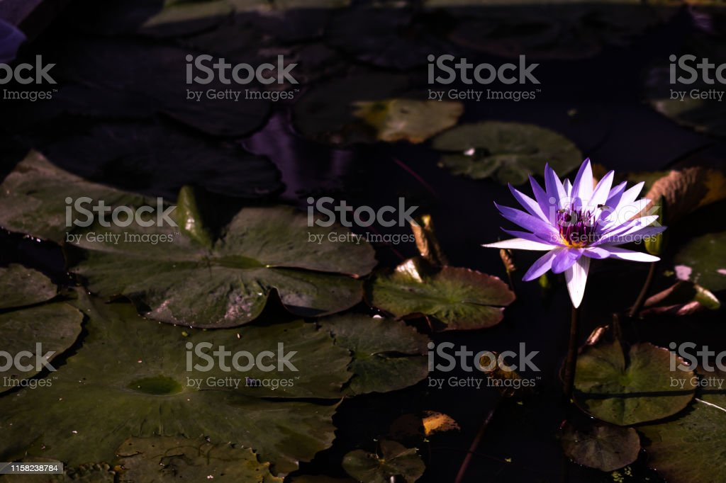水百合 - 免版稅一朵花圖庫照片