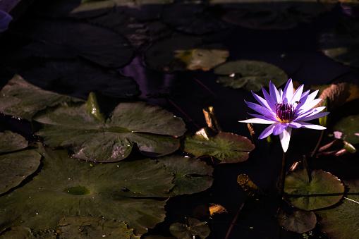 水百合 照片檔及更多 一朵花 照片