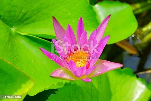 Lotus Water Lily, Flower, Botanical Garden, Formal Garden, Plant