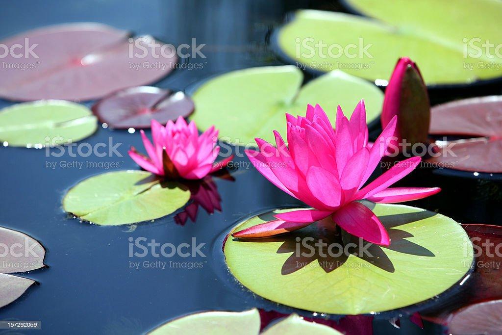 Water Seerose – Foto