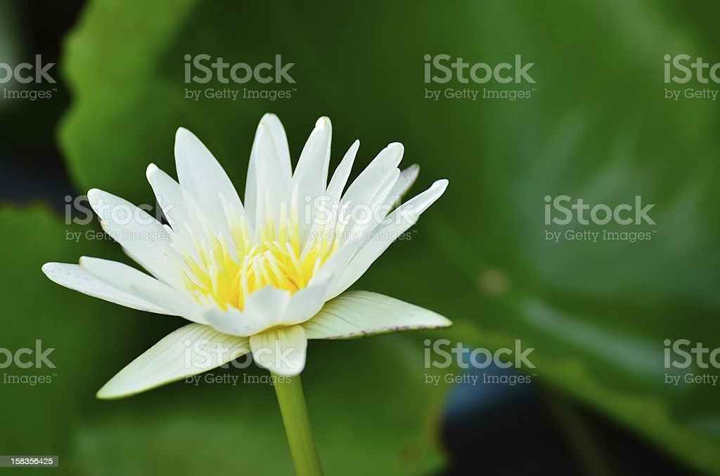 Water lily. royalty-free stock photo
