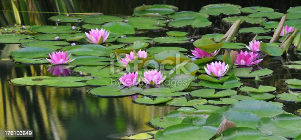 leaf texture, green giant amazon water lily on pond surface