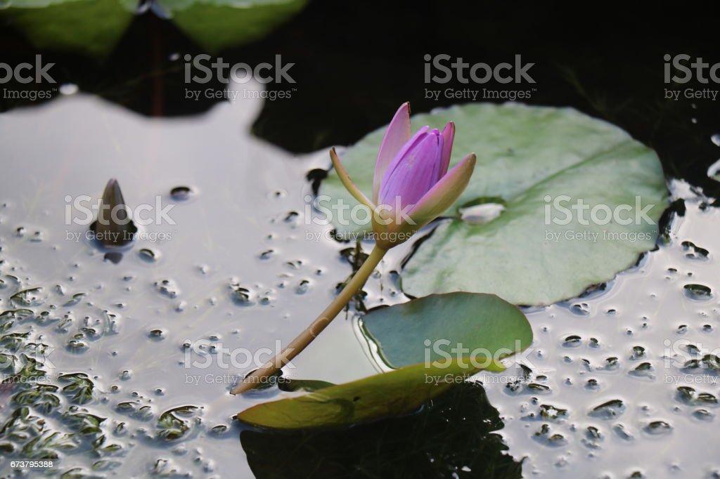Water Lily photo libre de droits