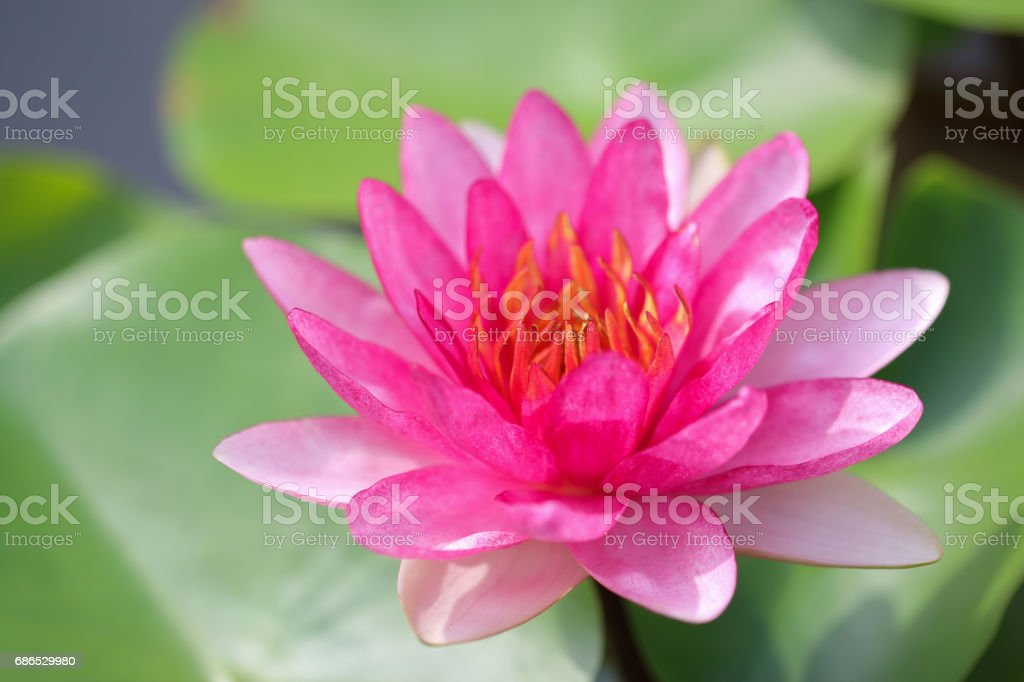 water lily royalty free stockfoto