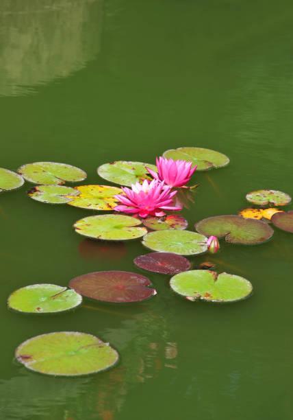 lotus water lily () - wasserlilien stock-fotos und bilder