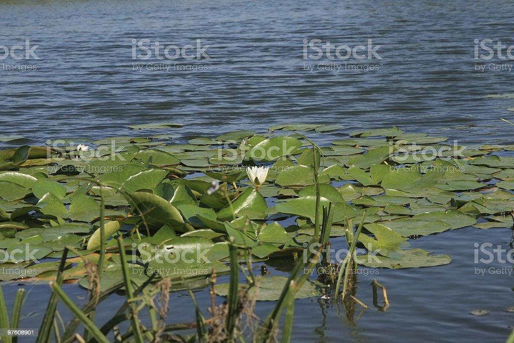 Water lily royaltyfri bildbanksbilder