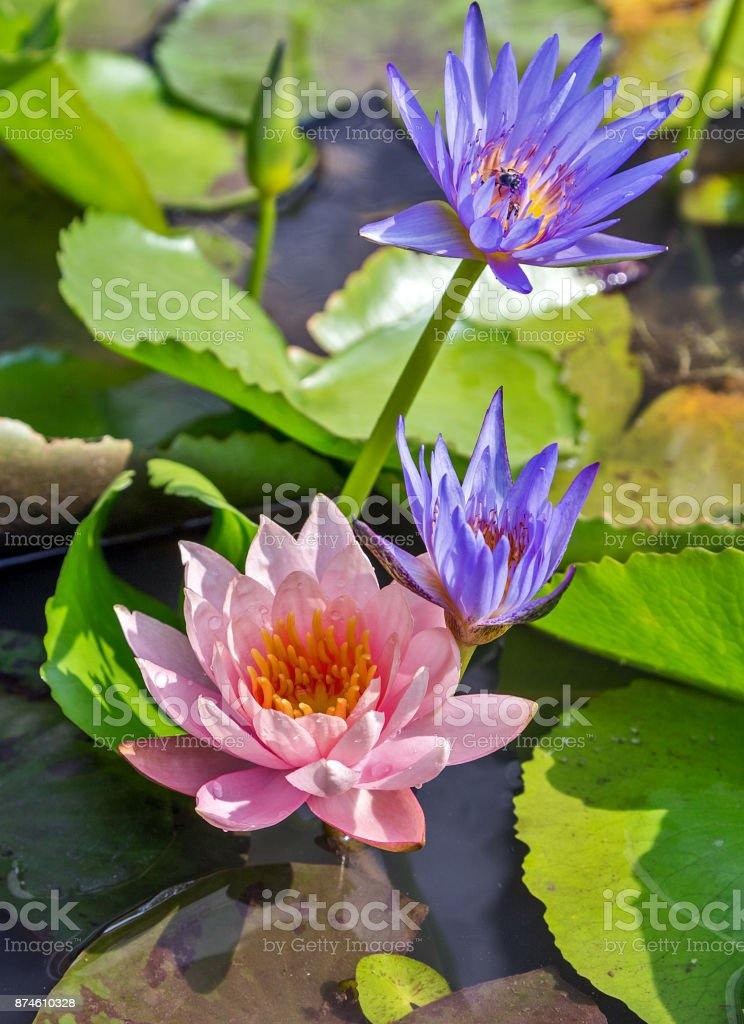 Water lily pink lotus bloom flower in the pool stock photo more asia lotus pond bali lotus root lotus water lily plant mightylinksfo