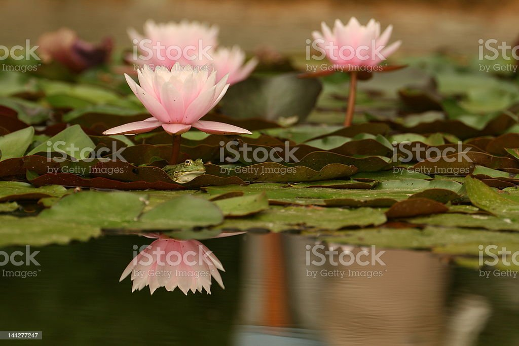 Water Lily Prince royalty-free stock photo