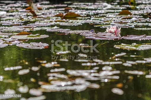 A pink water lily photo taken at water surface level the flower is to the right of the photo floating on a lake pond with floating green foliage