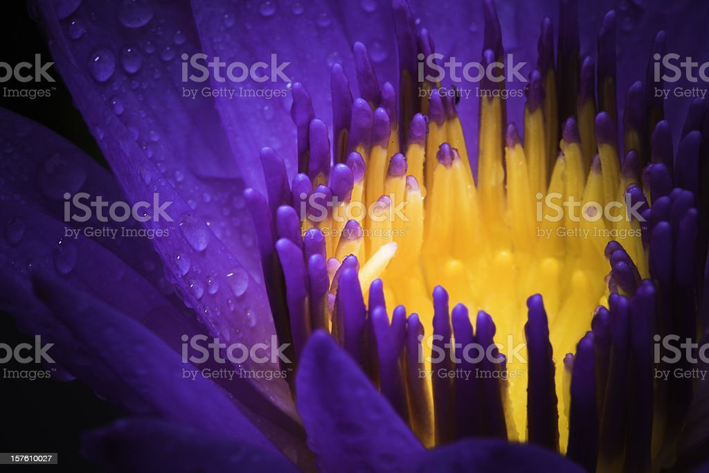 water lily use night color royalty-free stock photo