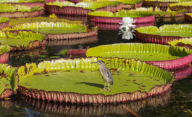 Water lily Victoria regia in Pamplemousses Botanical Garden Maur – Foto