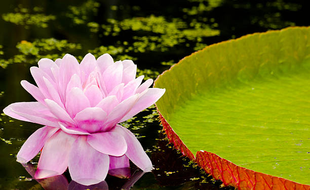 water lily with flower This water lily is native to the amazon . The largest in the world victoria water lily stock pictures, royalty-free photos & images