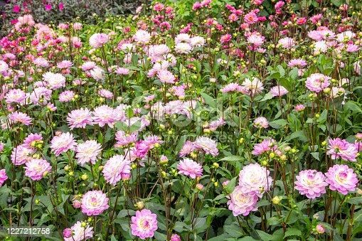 Wunderschöne Dahlien im Blumenpark
