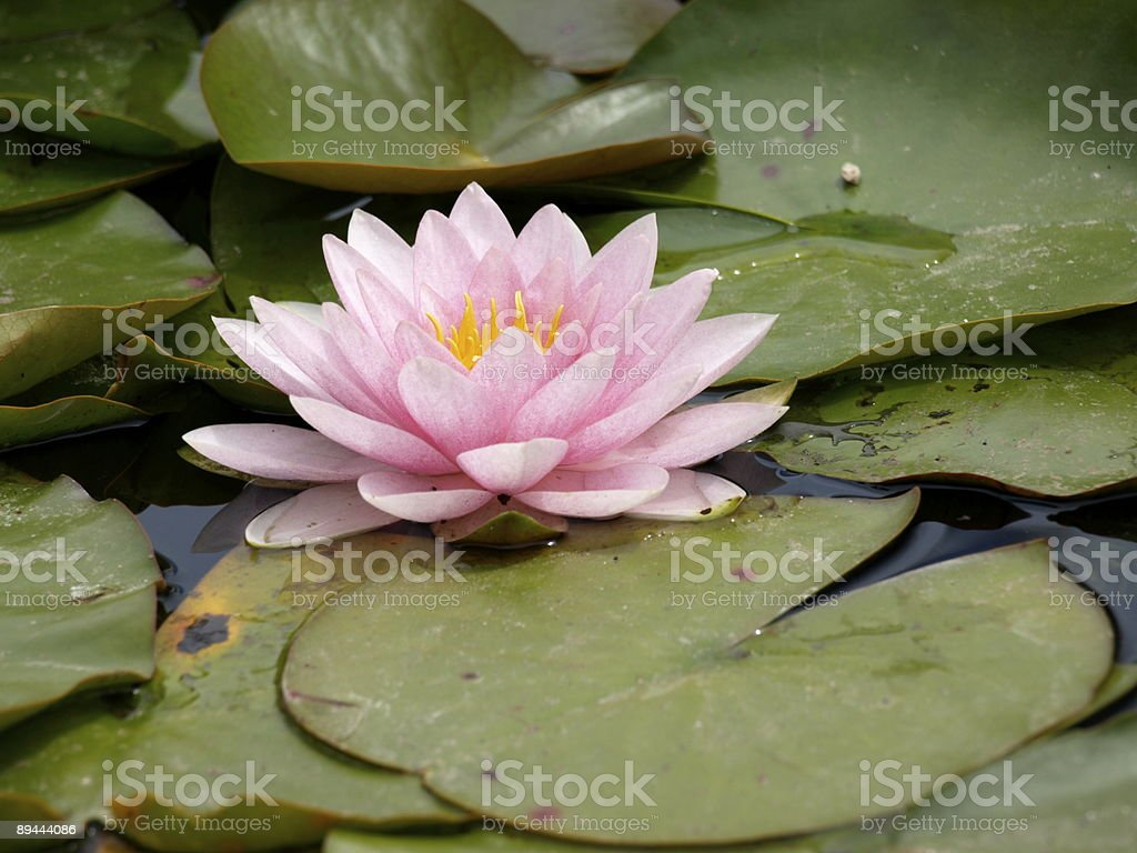 Water lily,Gorey,Jersey royalty-free stock photo