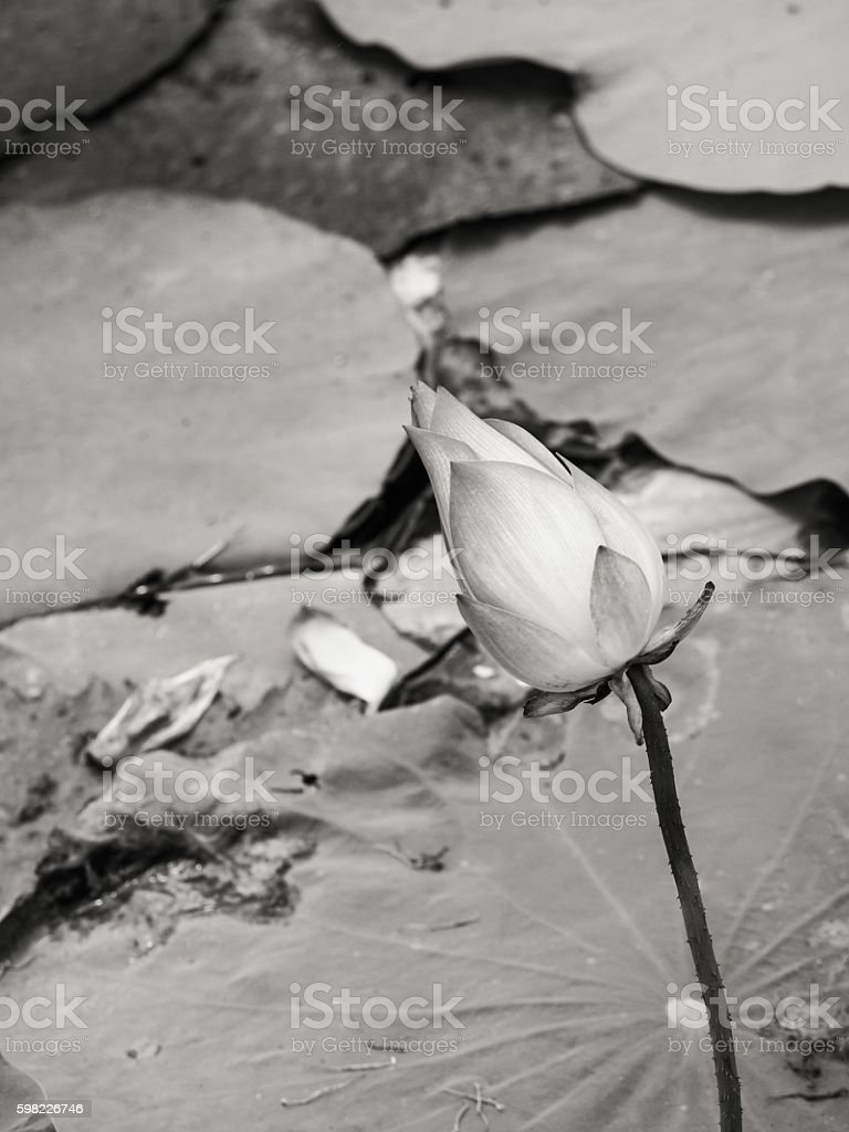 water lily/lotus flower and leaves in natural environment foto royalty-free