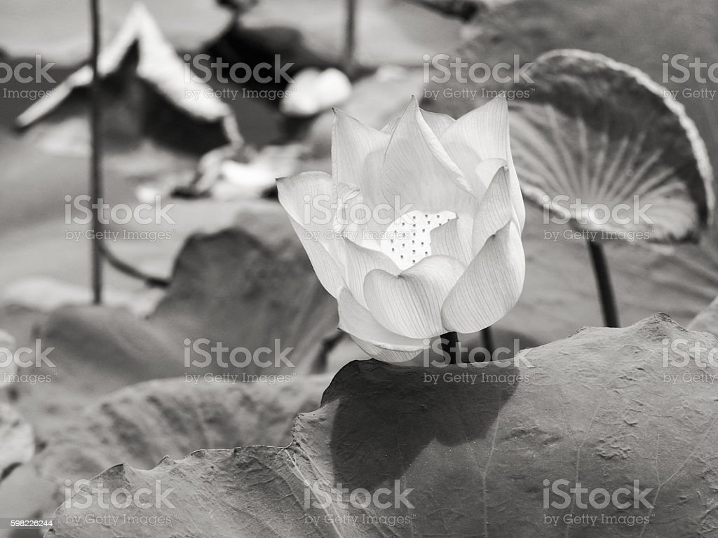 water lily/lotus full-bloom flower in natural environment foto royalty-free