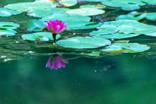 Waterlelie Nara Japan Stockfoto en meer beelden van Blad