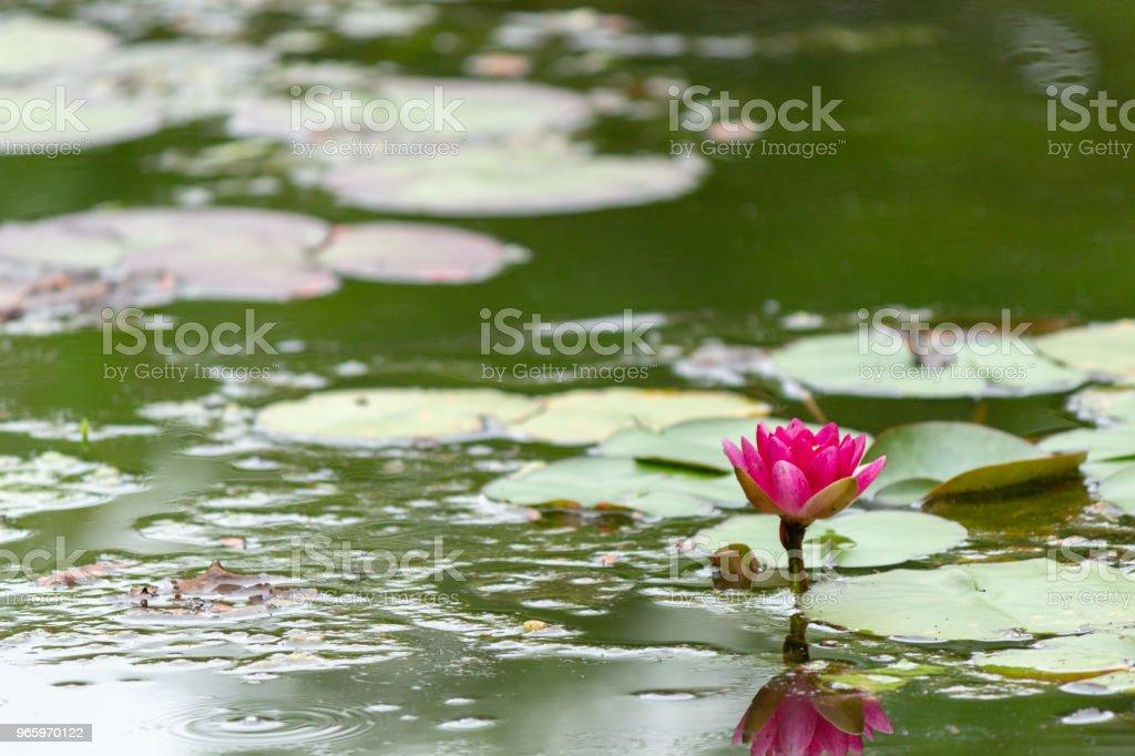 waterlelie. Nara, Japan - Royalty-free Blad Stockfoto