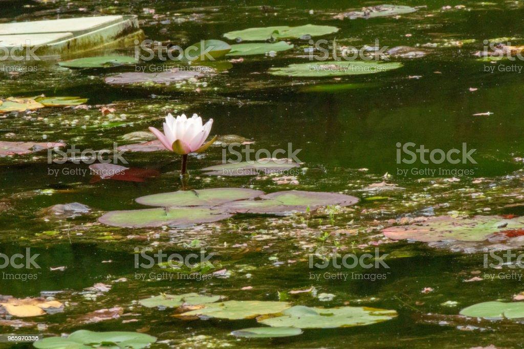 Seerose. Nara, Japan - Lizenzfrei Baumblüte Stock-Foto
