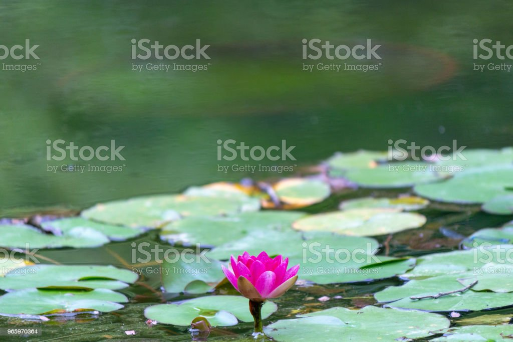 water lily.Nara,Japan - Royalty-free Beauty Stock Photo