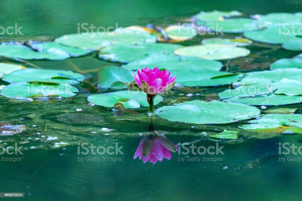 water lily.Nara,Japan - Royalty-free Beauty Stock Photo