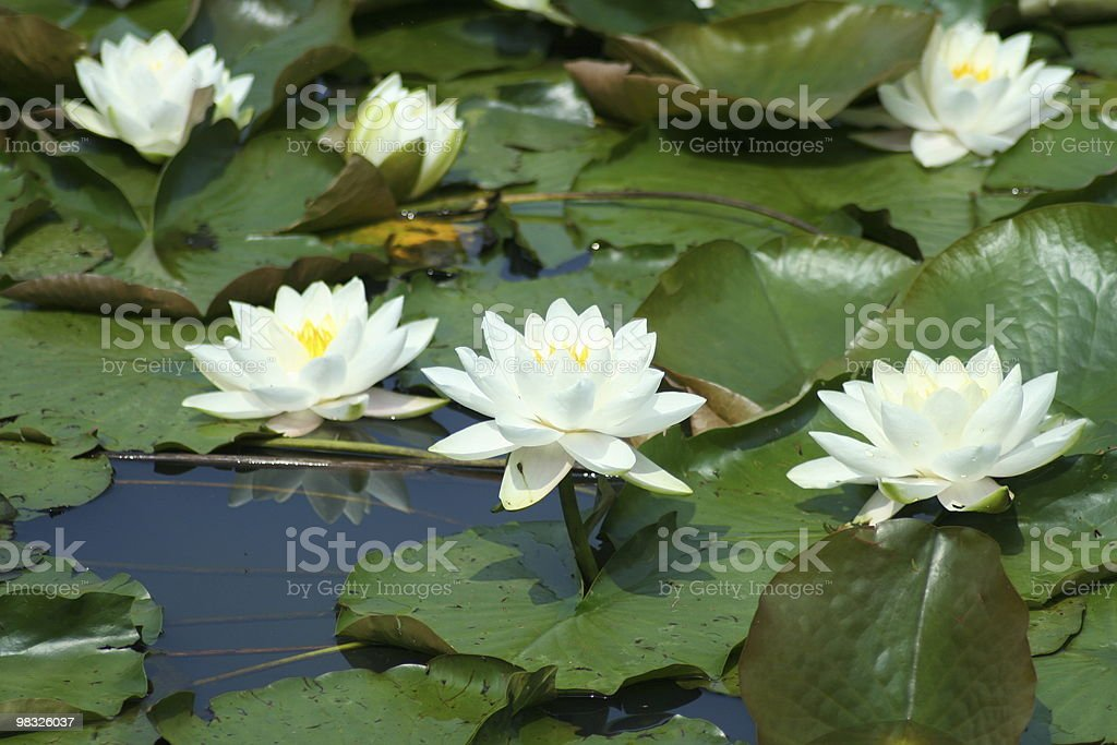 water lilys royalty-free stock photo