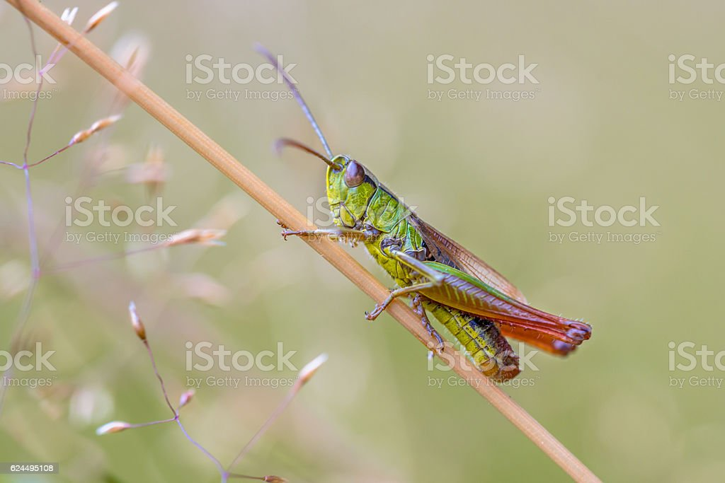 water meadow grasshopper stock photo