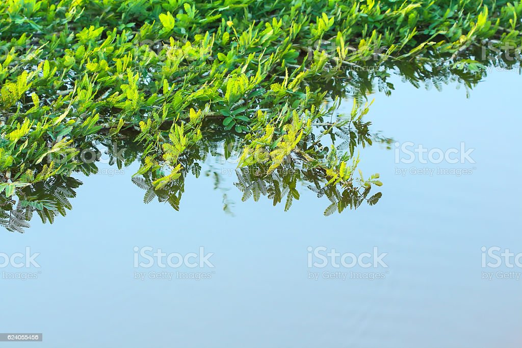 Water mimosa in the river. stock photo