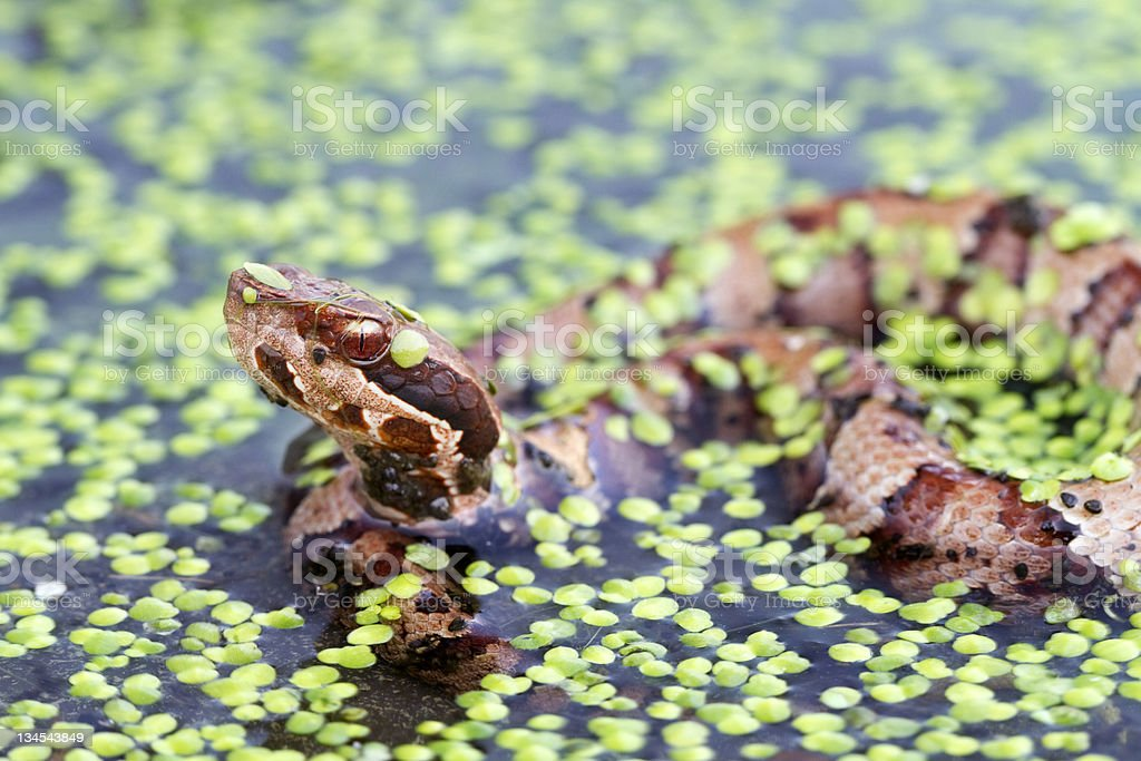 Water Moccasin - Cottonmouth Snake in Swamp stock photo