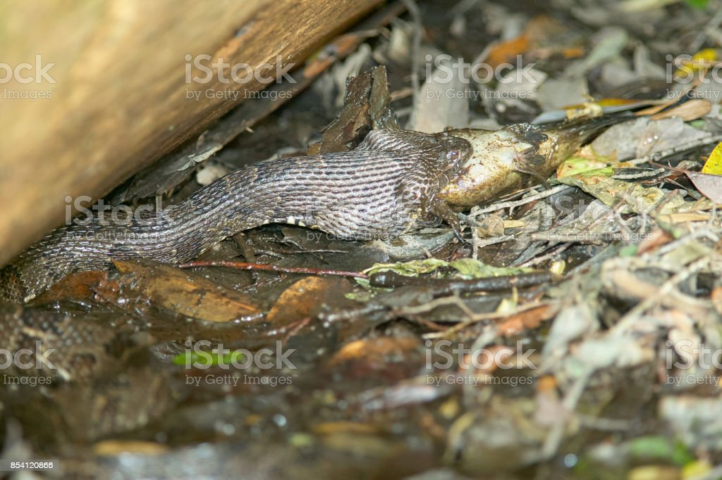 Water Moccasin Eating Caught Fish At Swamp Stock Photo More