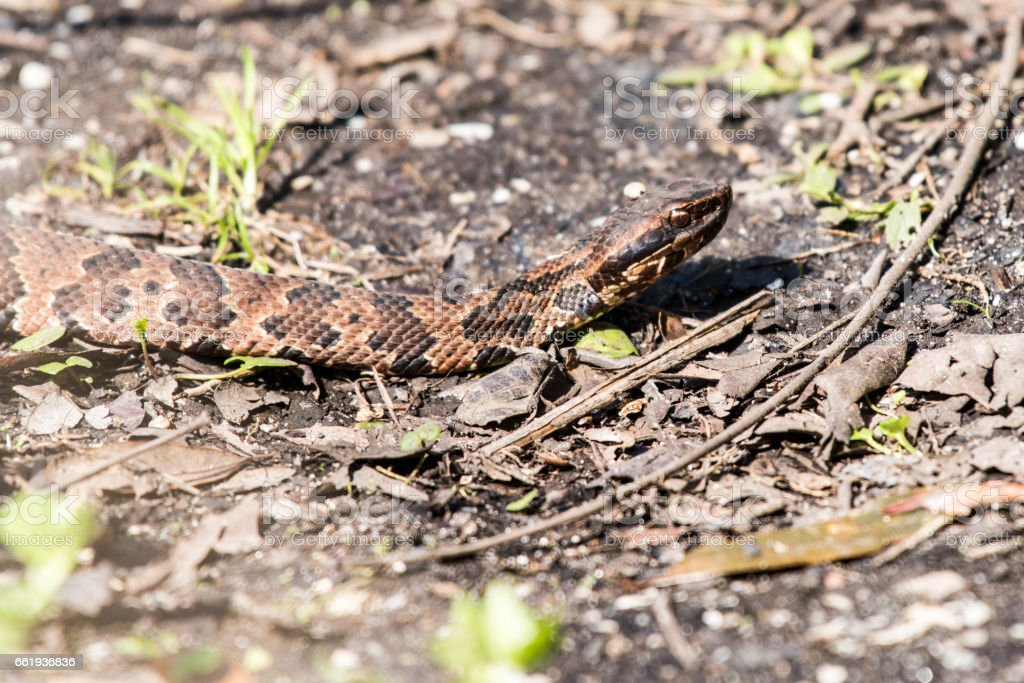 Water moccasin royalty-free stock photo