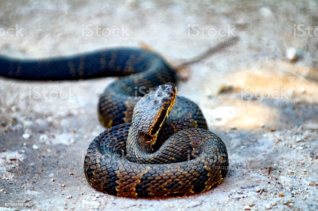 Water Moccasin stock photo