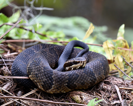 Agkistrodon piscivorus is a venomous snake, a species of pit viper in the subfamily Crotalinae of the family Viperidae. The species is native to the southeastern United States. As an adult, it is large and capable of delivering a painful and potentially fatal bite.