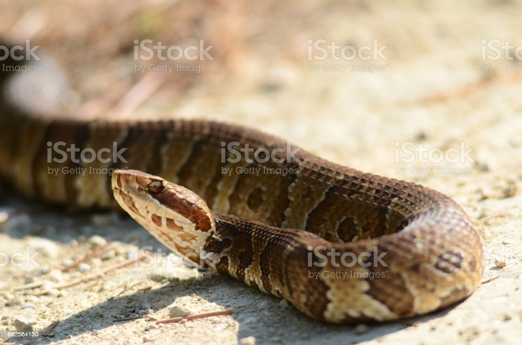 Water Moccasin snake with head up, turned around on itself stock photo