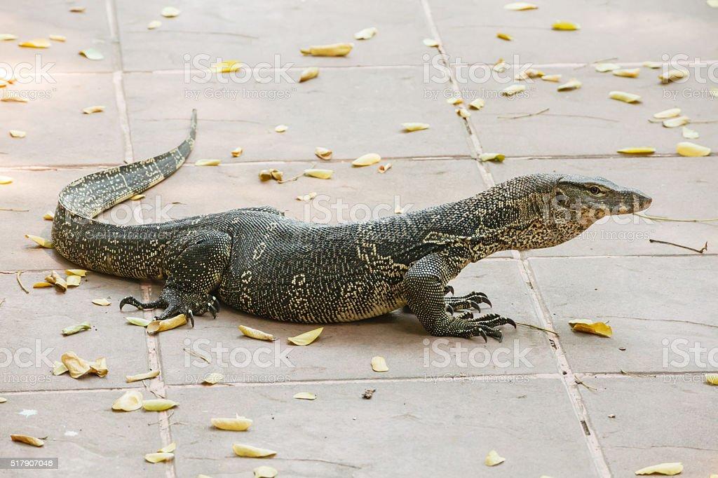 Water monitor lizard stock photo