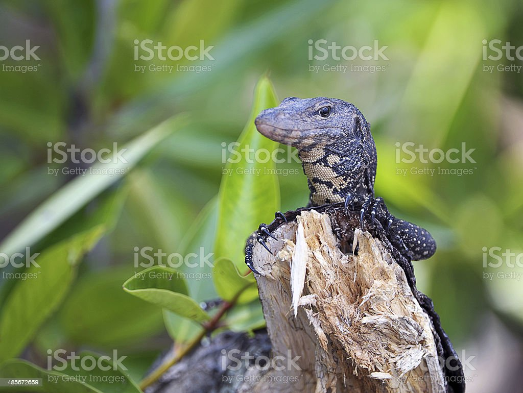 Water Monitor, Sri Lanka stock photo