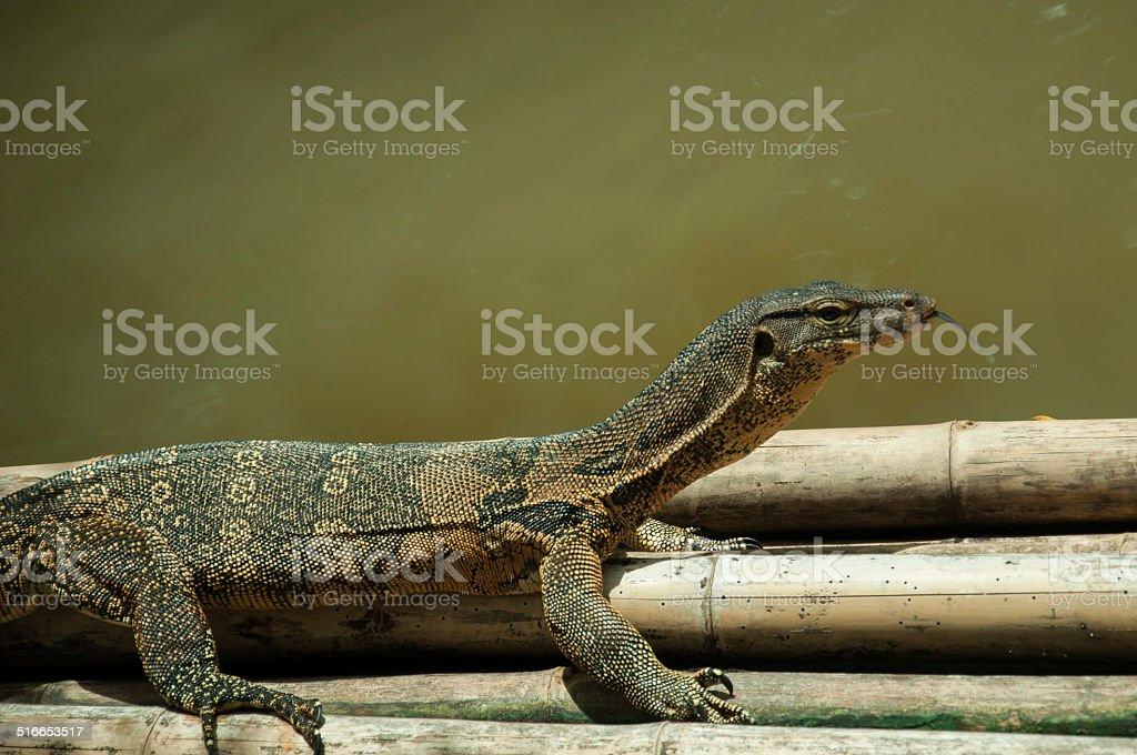 water mornitor lizard on floating bamboo stock photo