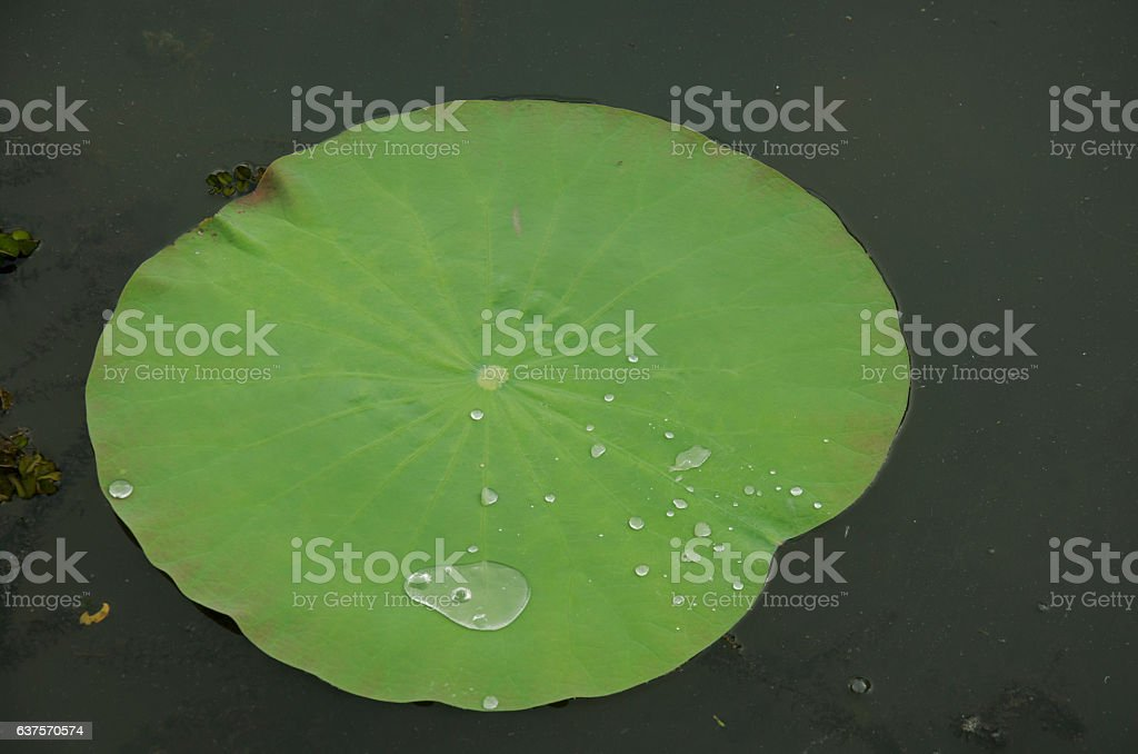 Water on a lotus leaf rolling stock photo