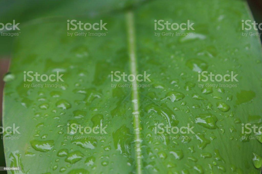 Water on green leaves in rainy season stock photo