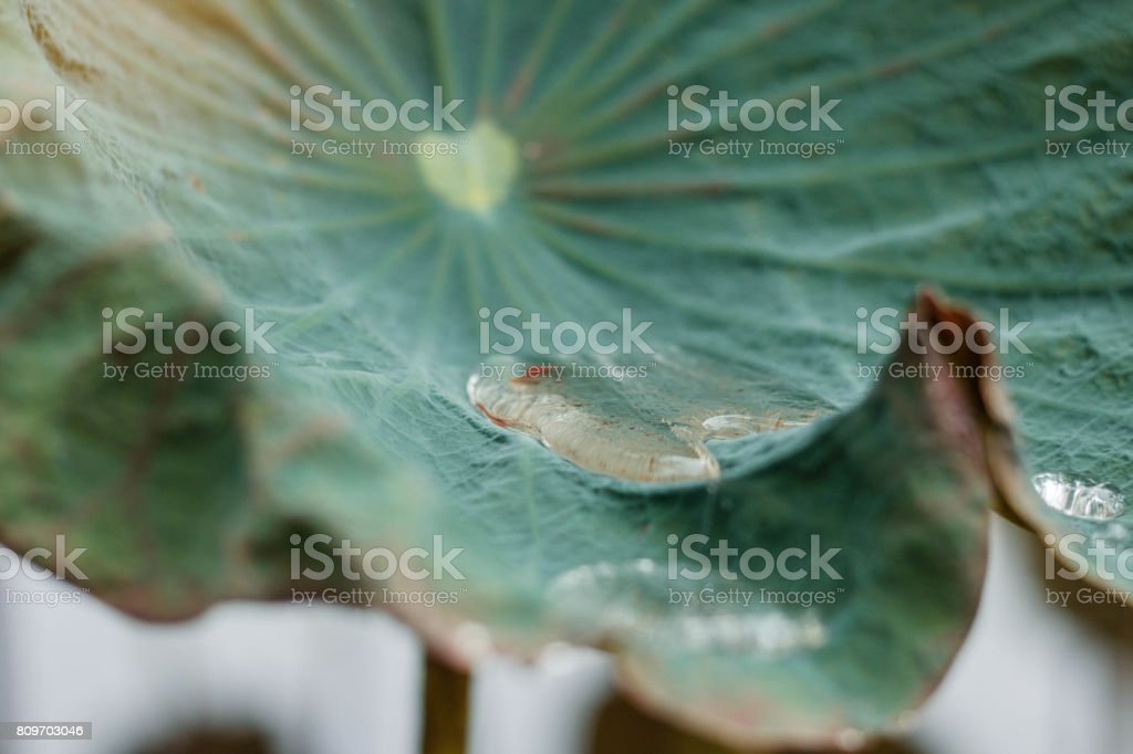 Water on lotus leaves. stock photo