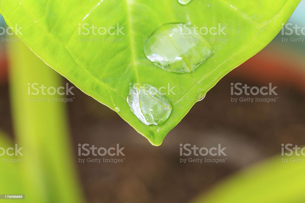 water on top of leaf royalty-free stock photo