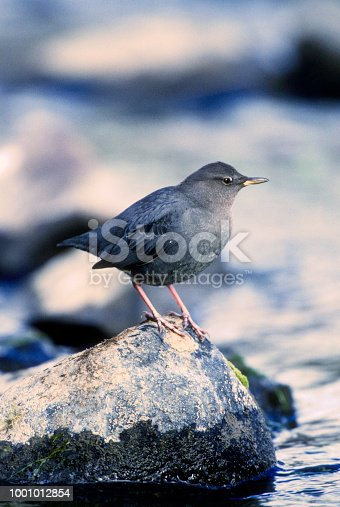 Water Ouzel or American Dipper Bird Foraging Along River, Montana