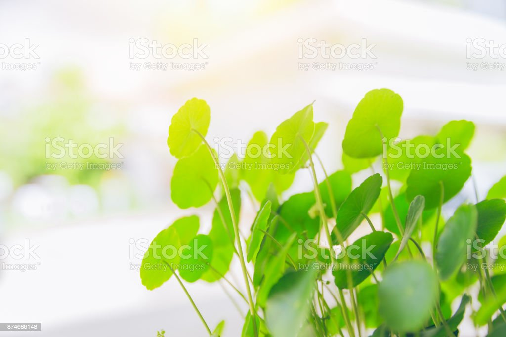 Water Pennywort green plant bright nature fresh background stock photo