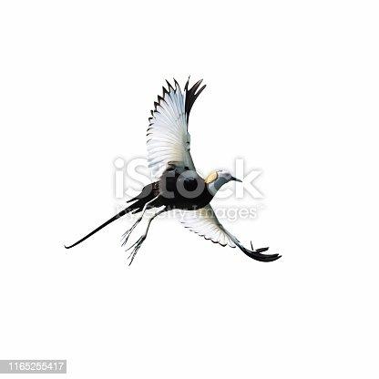 1065862132 istock photo water pheasant bird in flight 1165255417
