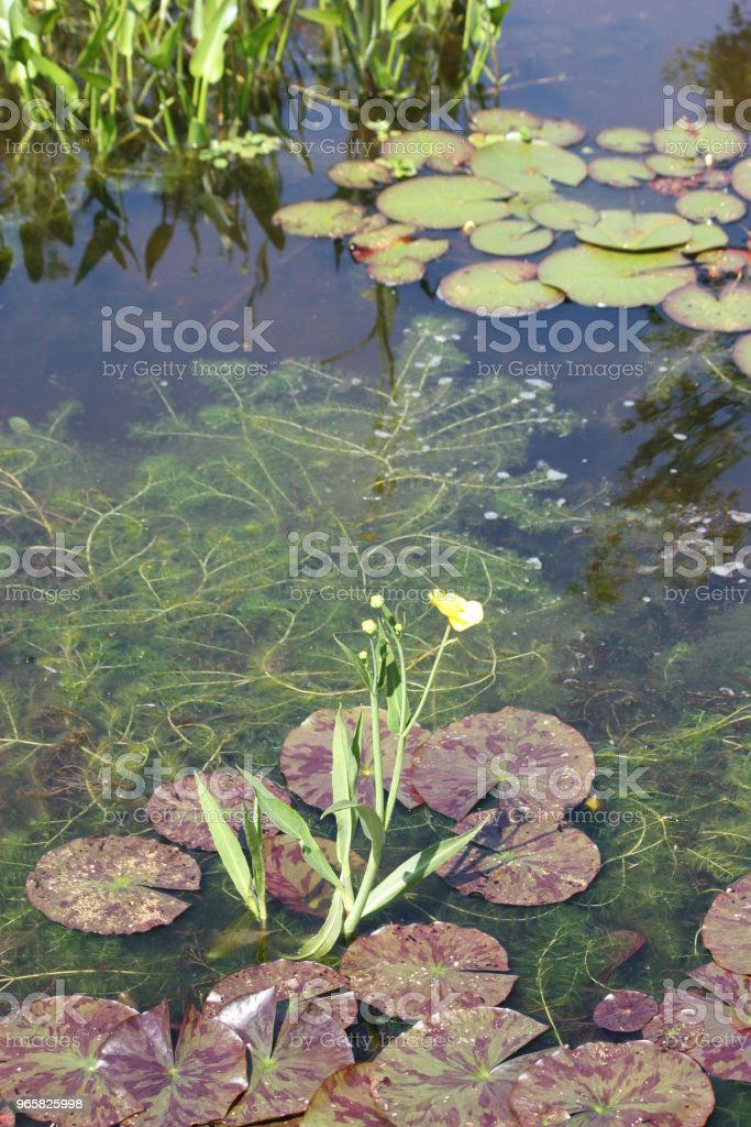 Water pond with water plants - Royalty-free Backgrounds Stock Photo