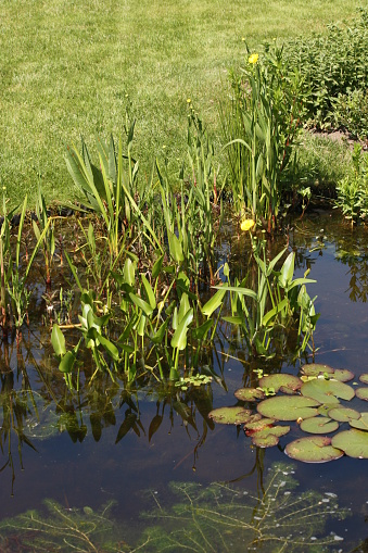 Water Vijver Met Waterplanten Stockfoto en meer beelden van Achtergrond - Thema