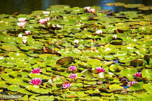 Water red lily in the pond. Latvian resort Sigulda, Latvia, Vidzeme Region, Turaida Museum Reserve, Europe